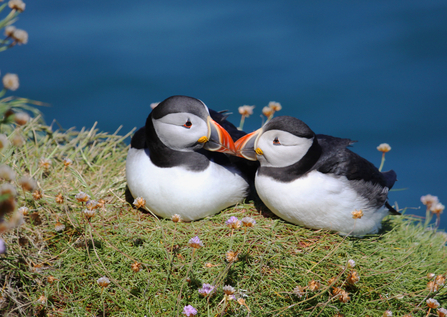 Pair of puffin mates The Wildlife Trusts