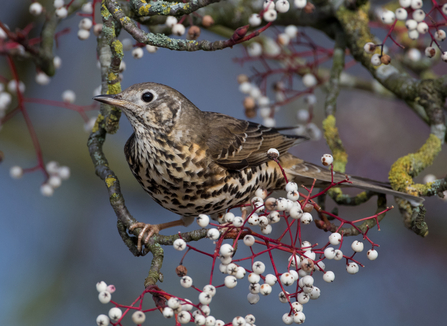 Mistle thrush on mistletoe, The WIldlife Trusts