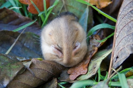 Common dormouse curled up in grass and dead leaves, The Wildlife Trusts