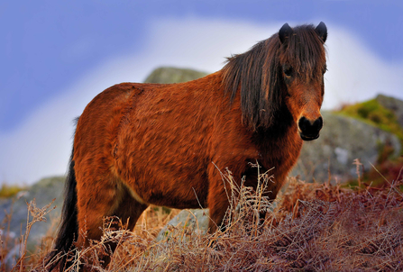 Dartmoor pony, The Wildlife Trusts