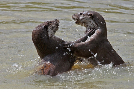 Two otters play fighting in the water, The Wildlife Trusts