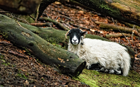 Sheep sitting i fallen leaves near logs, The Wildlife Trusts