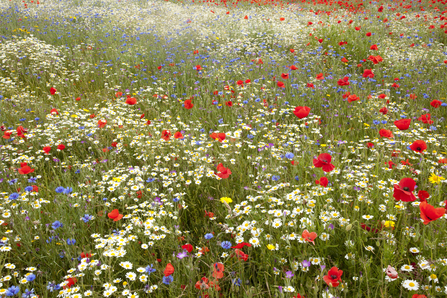Wildflower meadow, Paul Hobson