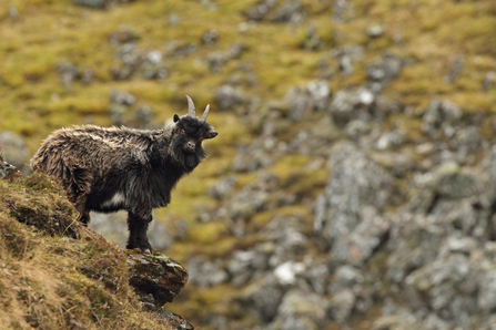 A juvenile wild goat on a windy hill side, The Wildlife Trusts
