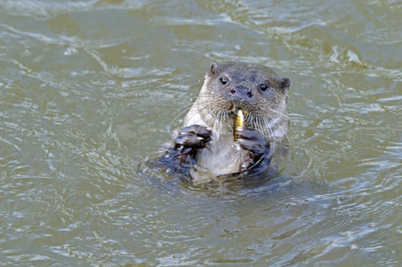 European otter eating a small fish in the water, The Wildlife Trusts