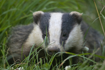 Badger in grass