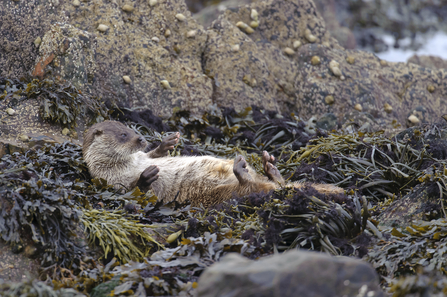 A young European otter lying on back drying off on seaweed