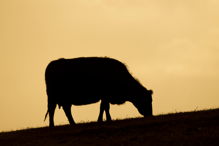 Cow silhouetted at sunset grazing, The Wildlife Trusts