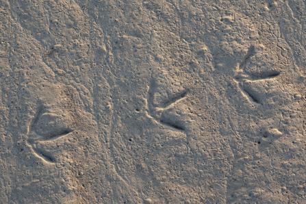 Wader Footprints (c) Peter Cairns/2020VISION