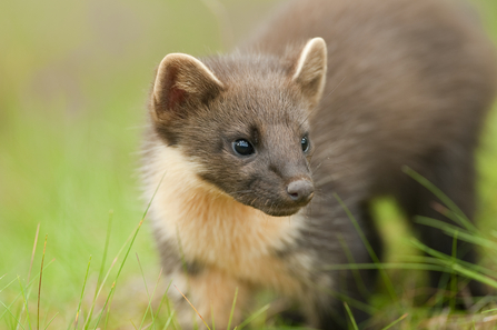 Pine marten, The Wildlife Trusts