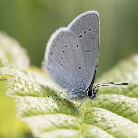 Small blue butterfly, the Wildlife Trusts