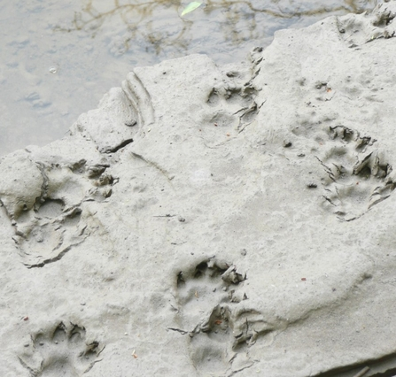 Otter prints cropped