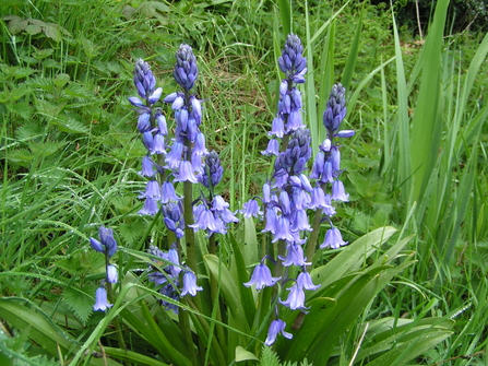 Spanish bluebells