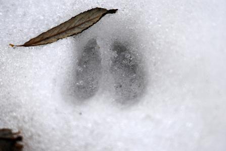 Deer hoof print in snow