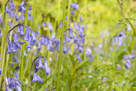 Native bluebells