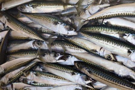 Handline caught Atlantic mackerel