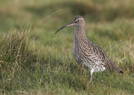 curlew in field