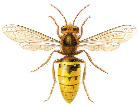 European hornet illustration
