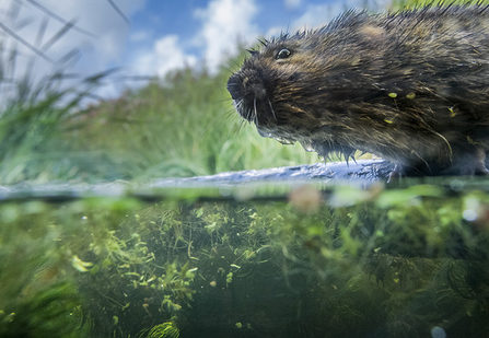 Water vole on Gwent Levels