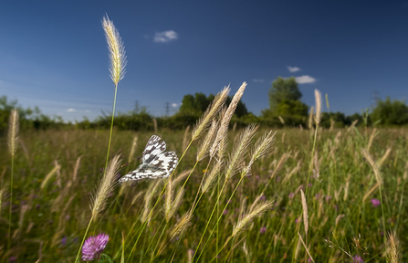 Marbled white butterfly explores grassland