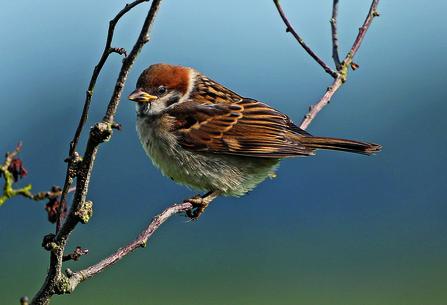 Tree sparrow on Vine House Farm