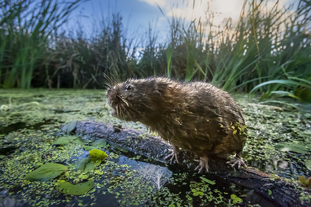 Water vole sat on a floating log