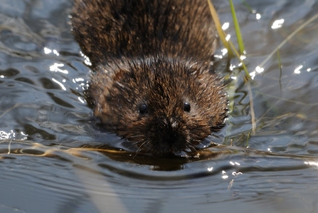 Water vole © Amy Lewis
