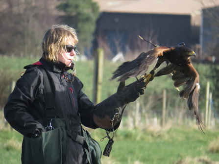 Florrie flying her harris hawk Nightingale