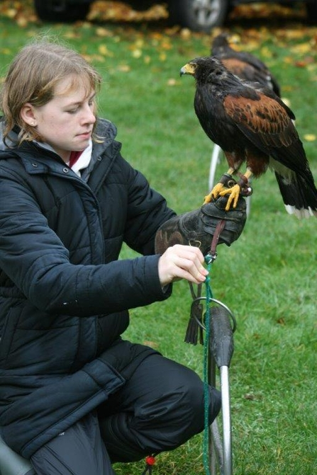 Florrie untying a harris hawk from its perch