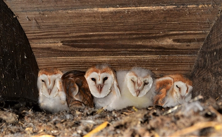Five barn owl chicks in a nest box