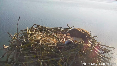 Maya and 150th osprey chick
