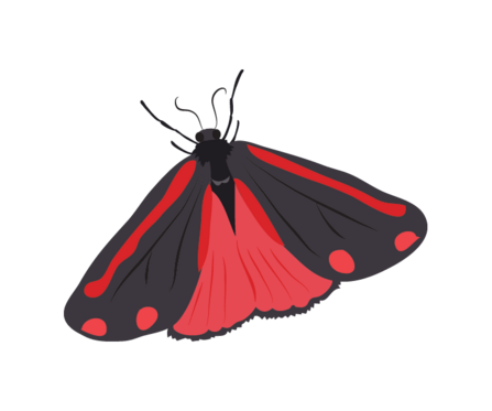 Illustration of a cinnabar moth