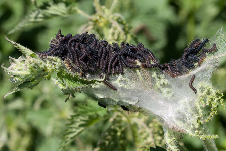 Peacock caterpillars