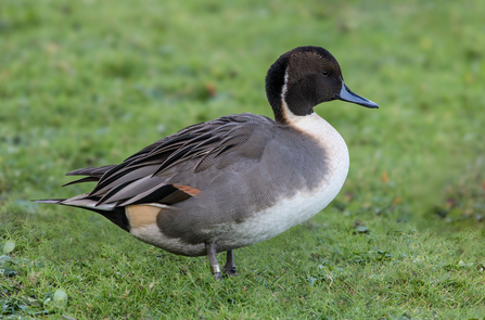 A drake pintail standing on grass