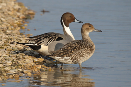 A pair of pintail standing on a stony shore