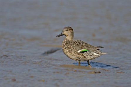 A female teal walking on mud