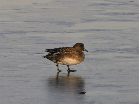 A female wigeon walking on ice
