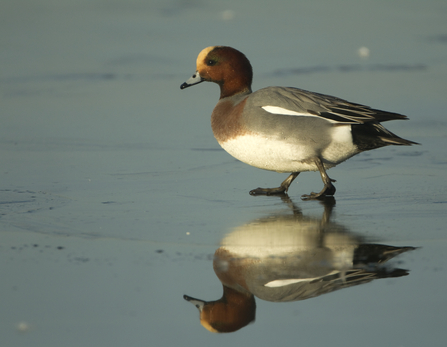 A male wigeon walks on a patch of ice