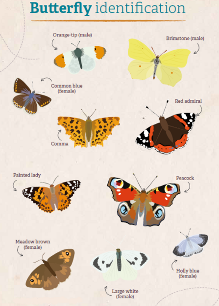 Butterfly Identification wildlife trusts