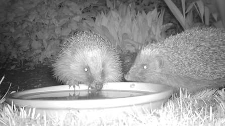 Two hedgehogs caught on a camera trap
