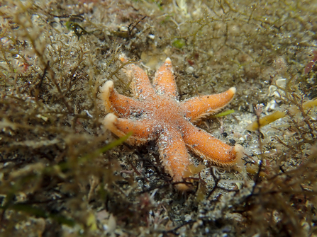 Seven armed starfish