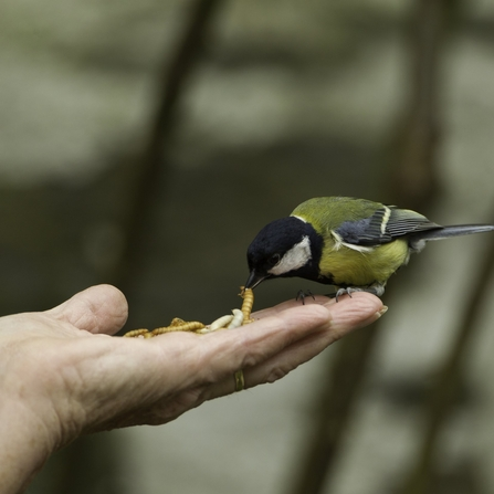 Great tit (Parus major) taking mealworm from person's hand, Wales, UK - Mark Hamblin/2020VISION
