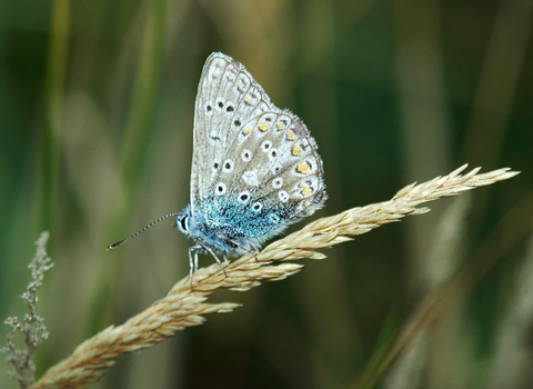 Blue butterfly the wildlife trusts