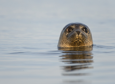 A common seal with its head out of the water, The Wildlife Trusts