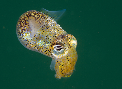Little cuttlefish