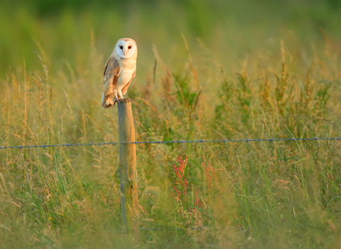 barn owl sat on a fence post