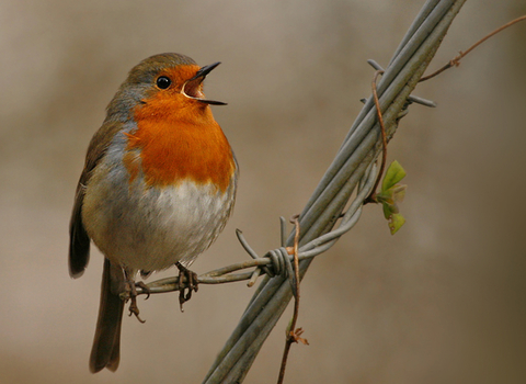 Robin on barbed wire