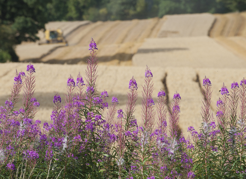 Field being harvested with pink flowers in front