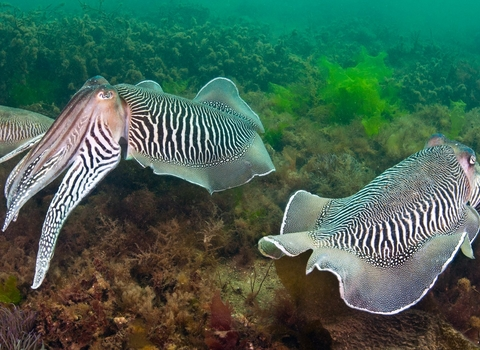 Two Pairs Of Cuttlefish. Devon, UK